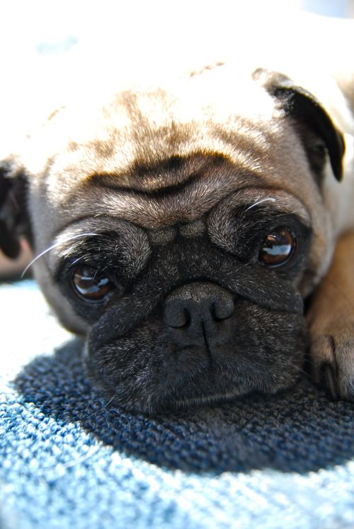 Little Sheba the Hug Pug - 5 years of Puppy Fun in Palo Alto