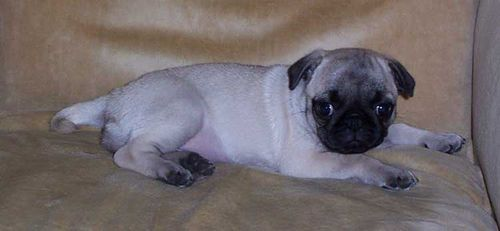 Little Sheba the Hug Pug - 5 years of Puppy Fun in Palo Alto