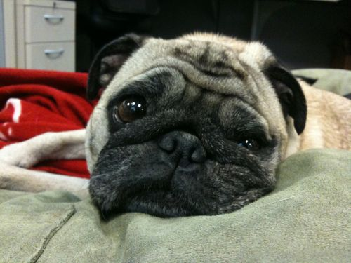 Little Sheba the Hug Pug is 6 years old