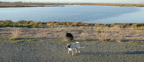 Rio and Sheba Hu Pug Bay Walk - December 15 2007!