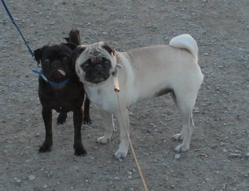 Rio and Sheba Hu Pug Bay Walk - December 15 2007!