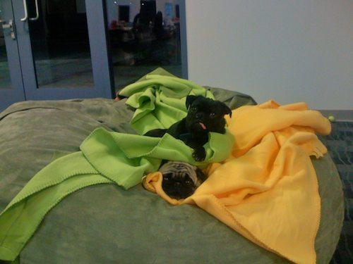 Office Pugs