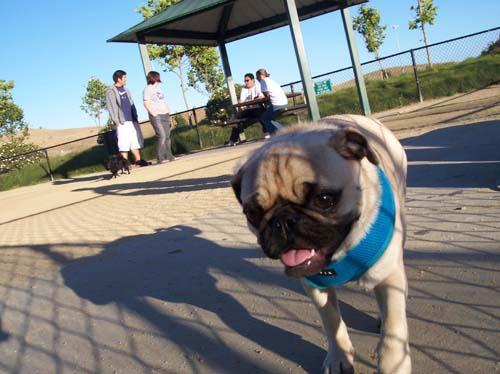 Calypso walking the park