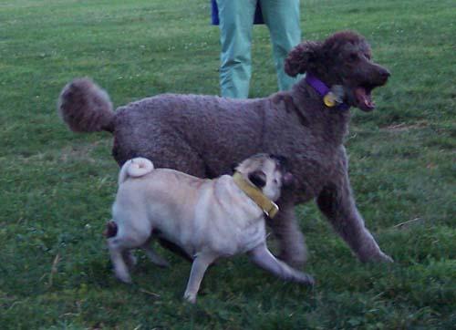 Sheba chasing Camille