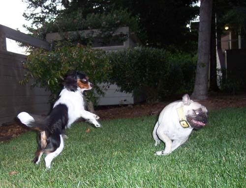 Charlie jumping at Sheba