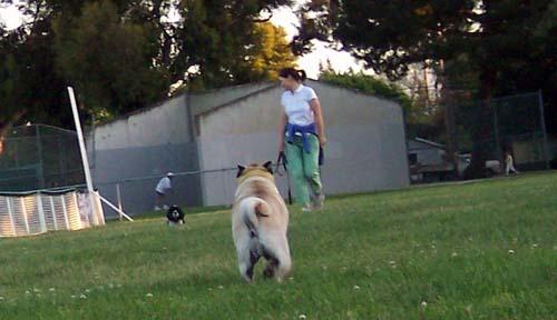 Sheba running towards Kelly
