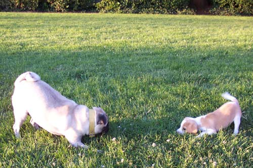 Sheba and Kaya in a puppy face off