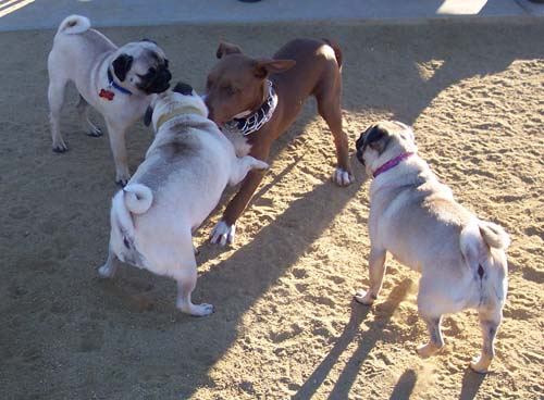 When Pugs Attack