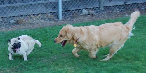Daisy chasing Sheba