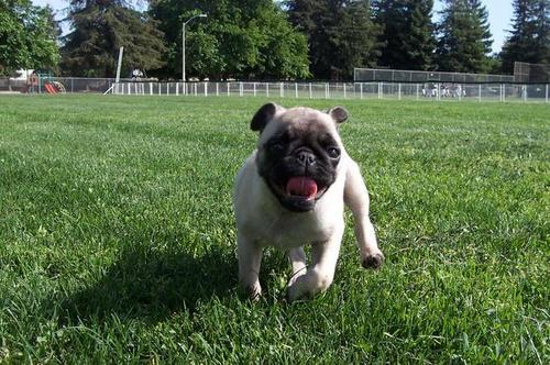 Little Sheba running FAST!