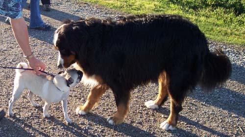 Sheba and Big Dog 2