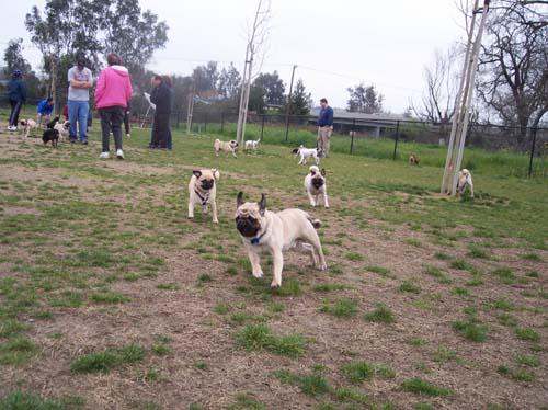 Pug Meetup Chasing