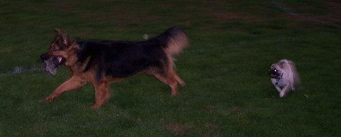 Sheba chasing the Big Dogs