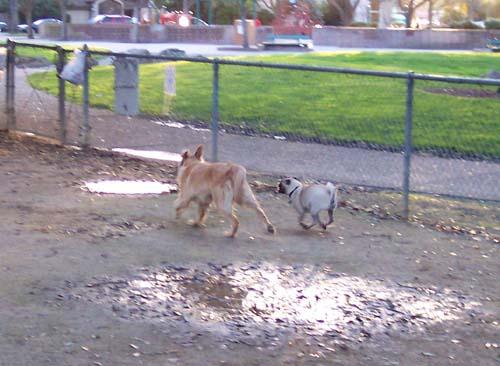 Daisy and Sheba running