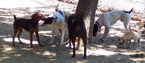 Sheba and some BIG DOGS
