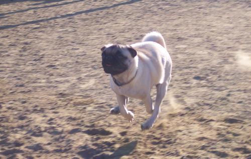 Little Sheba galloping