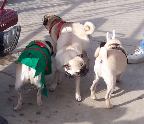 Holiday Pugs