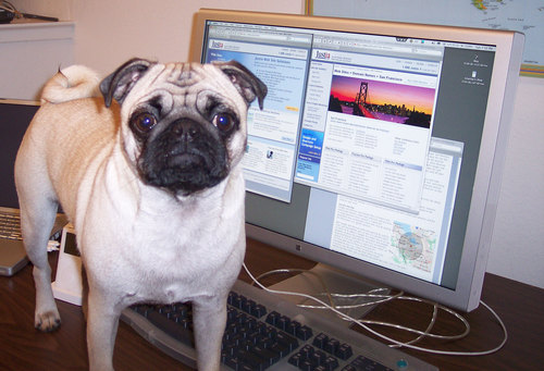Sheba working on the Justia Web site