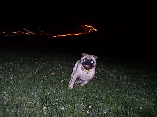 Sheba running at night