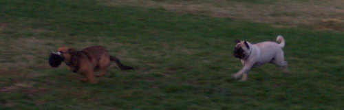 Sheba chasing Lucy Left