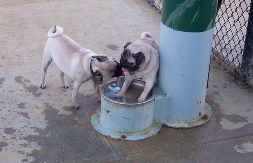 Roy and Sheba drinking water