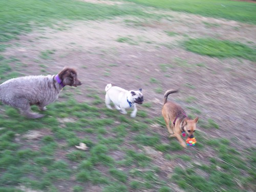 Lucy being chased by Sheba and Camille