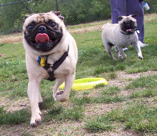 Sheba chasing a friend