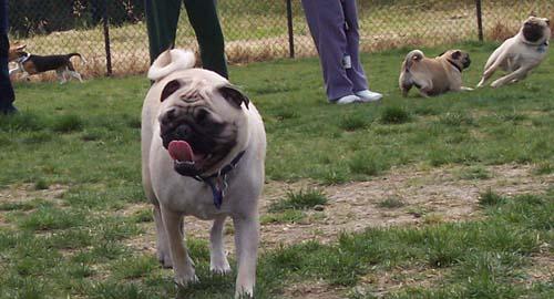 Sheba and chasing pugs