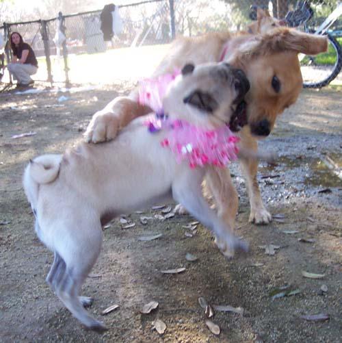 Sheba and Daisy chasing fun