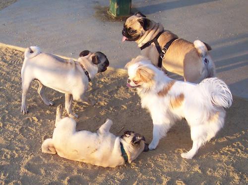 Little Sheba, Roy, Sugar Pug and the gang