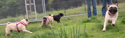 San Jose Pug Chasing