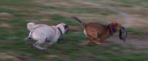 Sheba chasing Lucy Right