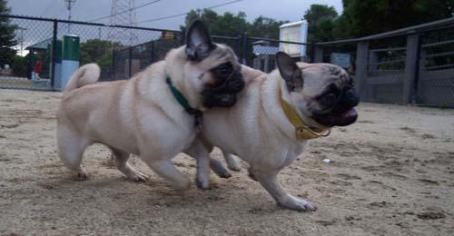 Sheba and Roy chasing