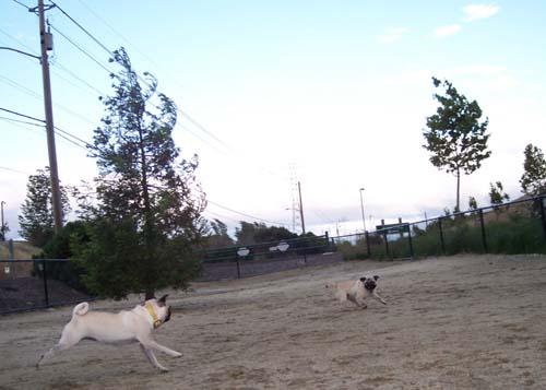 Sheba chasing Roy