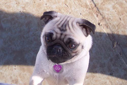 Little Sheba