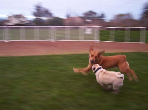 Sheba chasing Rusty