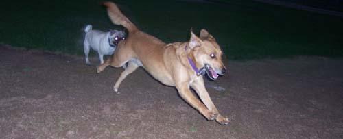 Sheba still chasing Rusty