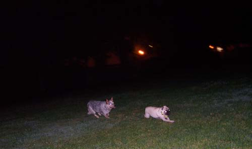 The Wolf chases Sheba