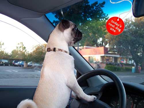 Sheba driving a car