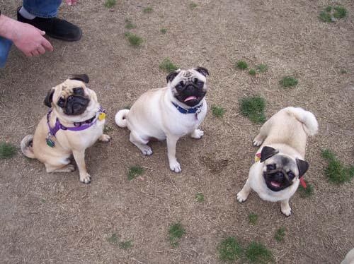 Smiling Pugs