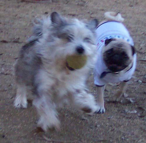 Sheba chasing Winston