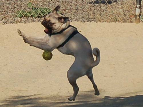 Hoagie trying to catch a ball