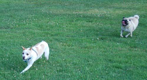 Sheba chasing Leo