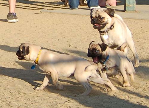 Pugs making a chase turn