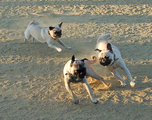 Pug Chases