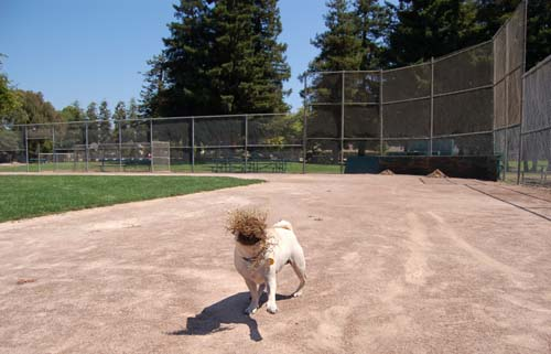 Sheba in the baseball field running the bases
