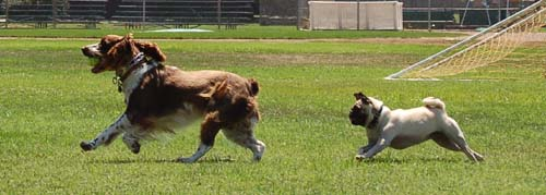 Sheba having puppy chasing fun with a friend