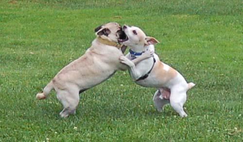 Sheba and Leo Battling