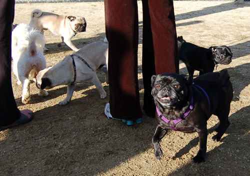 Sheba and Friends at the Mountain View Dog Park Sunday January 15, 2006
