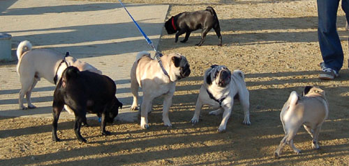 Sheba and Friends at the Mountain View Dog Park Sunday January 22, 2006